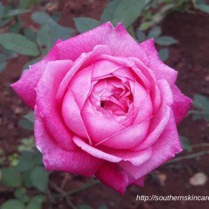 Làm đẹp với hoa hồng